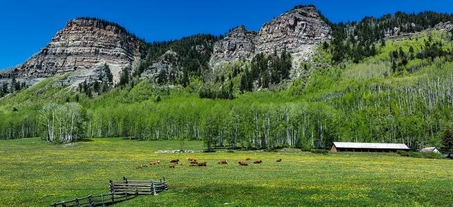 cattle rest in green fields