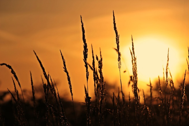 prairie grass in front of a rising sun