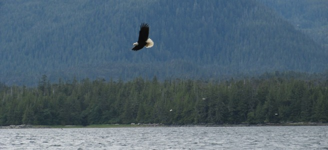 eagle flying, lake, trees, mountains